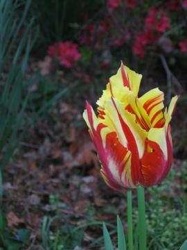 1 tulip